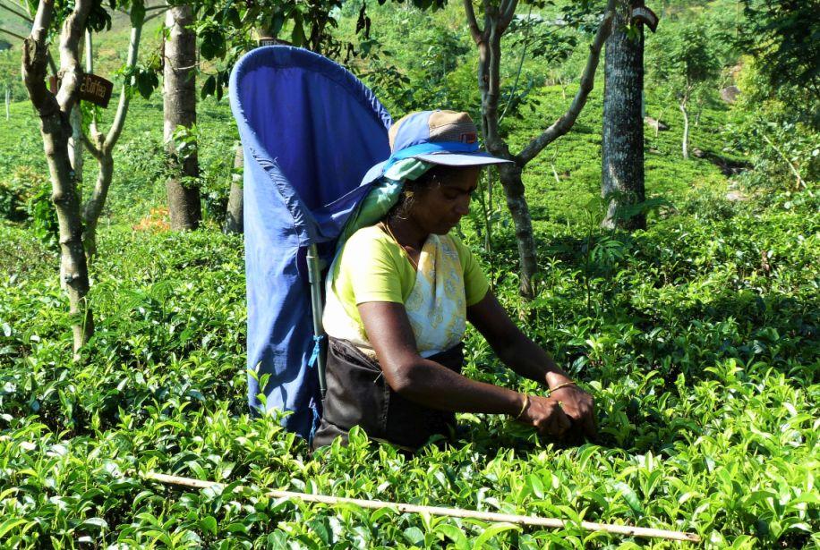 Höhepunkte von Sri Lanka Teeernte