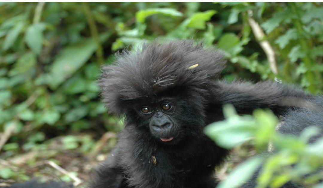 Gorillas in Uganda & Ruanda