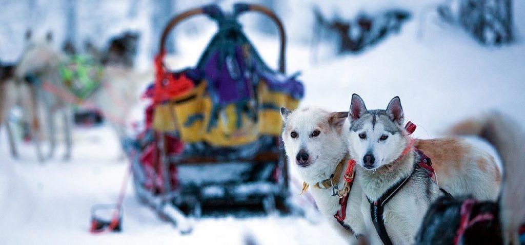 Mit Hundeschlitten durch Lappland