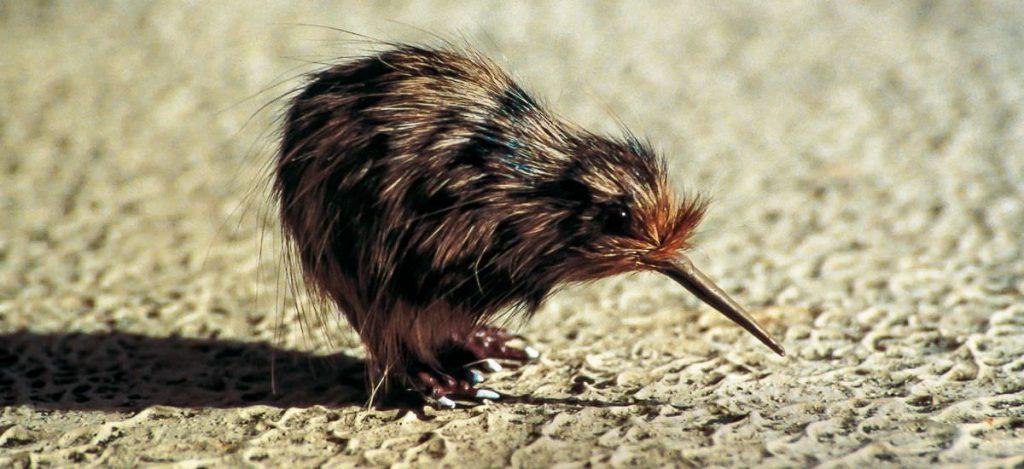 Kiwi Neuseeland PlanReisen