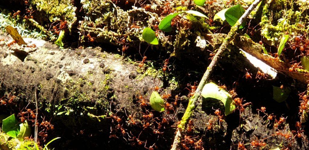 Ameisen in Costa Rica