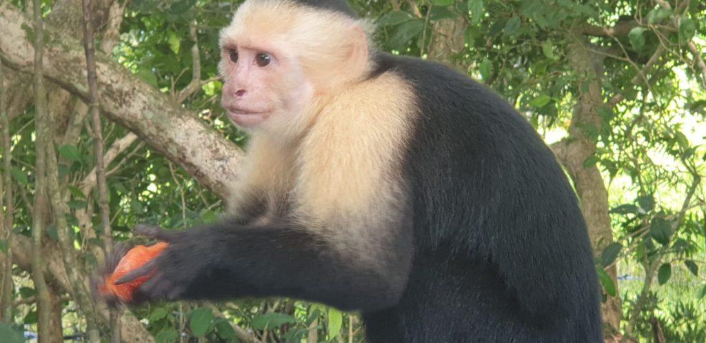 Kapuziner Affe Costa Rica