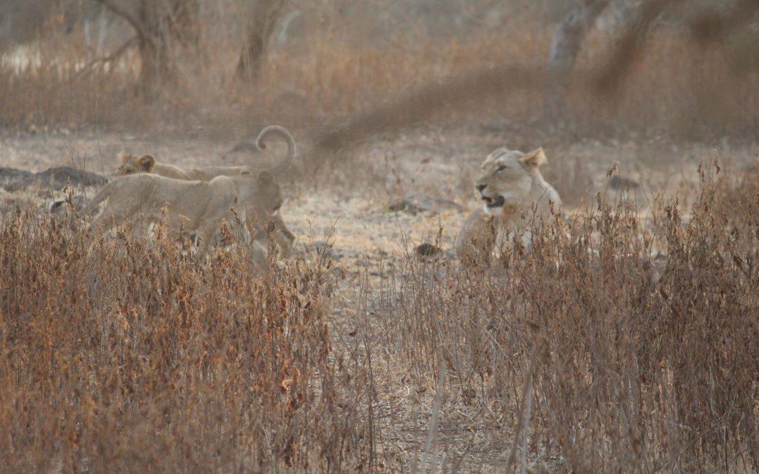 Gujarat 2021 mit Löwensafari